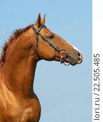 Портрет донской лошади на фоне голубого неба. Стоковое фото, фотограф Елена Зенкович / Фотобанк Лори