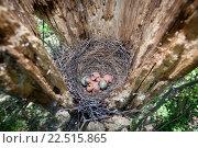 Купить «Гнездо сойки с яйцами и птенцами», фото № 22515865, снято 12 мая 2014 г. (c) Василий Вишневский / Фотобанк Лори