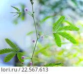 Купить «Мимоза стыдливая (Mimosa pudica)», фото № 22567613, снято 15 марта 2016 г. (c) Татьяна Белова / Фотобанк Лори
