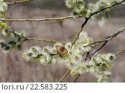 Купить «Бабочка крапивница сидит на ветке ивы козьей ранней весной», фото № 22583225, снято 13 апреля 2016 г. (c) Natalya Sidorova / Фотобанк Лори
