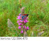 Купить «Яркая бабочка пестрянка на розовом полевом цветке среди зеленой травы», фото № 22584473, снято 6 августа 2015 г. (c) DiS / Фотобанк Лори