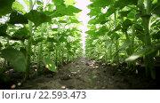 Купить «Поле молодых растений подсолнечника», видеоролик № 22593473, снято 7 апреля 2016 г. (c) ActionStore / Фотобанк Лори