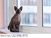 Купить «Кошка породы канадский сфинкс сидит на подоконнике», фото № 22596913, снято 3 апреля 2016 г. (c) Стивен Жингель / Фотобанк Лори