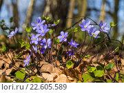 Цветы печеночницы (перелески) в лесу весной. Стоковое фото, фотограф Ксения Семенова / Фотобанк Лори