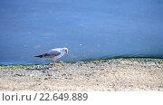 Купить «Чайка гуляет по набережной», видеоролик № 22649889, снято 1 ноября 2015 г. (c) Валерий Гусак / Фотобанк Лори