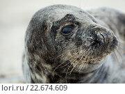 Купить «Young atlantic Grey Seal portrait», фото № 22674609, снято 26 мая 2019 г. (c) PantherMedia / Фотобанк Лори