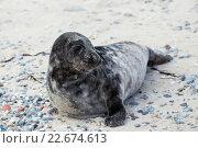 Купить «Young atlantic Grey Seal portrait», фото № 22674613, снято 20 апреля 2018 г. (c) PantherMedia / Фотобанк Лори
