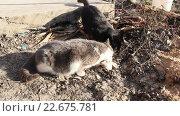 Купить «Две кошки едят рыбью голову», видеоролик № 22675781, снято 23 февраля 2016 г. (c) Олег Хархан / Фотобанк Лори