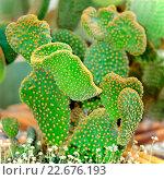 Купить «Кактус - опунция мелковолосистая  (Opuntia microdasys)», фото № 22676193, снято 15 марта 2016 г. (c) Татьяна Белова / Фотобанк Лори