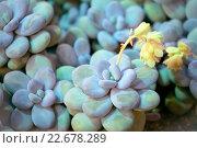 Купить «Пахифитум яйценосный (Pachyphytum oviferum) или Лунный камень - декоративный суккулент», фото № 22678289, снято 15 марта 2016 г. (c) Татьяна Белова / Фотобанк Лори