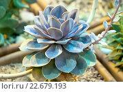 Купить «Эхеверия изящная (Echeveria elegans)», фото № 22679193, снято 15 марта 2016 г. (c) Татьяна Белова / Фотобанк Лори