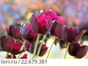 Купить «Тюльпаны бордовые», фото № 22679381, снято 4 марта 2016 г. (c) Татьяна Белова / Фотобанк Лори