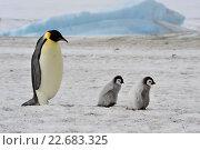 Купить «Императорский пингвин с двумя цыплятами», фото № 22683325, снято 18 октября 2010 г. (c) Vladimir / Фотобанк Лори
