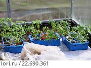 Купить «Рассада помидоров в парнике», фото № 22690361, снято 23 апреля 2016 г. (c) Краснова Ирина / Фотобанк Лори