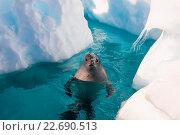 Купить «Тюлень крабоед в воде», фото № 22690513, снято 22 февраля 2012 г. (c) Vladimir / Фотобанк Лори