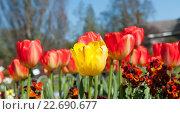 Тюльпаны на клумбе. Стоковое фото, фотограф Татьяна Кахилл / Фотобанк Лори