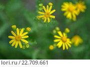 Желтые полевые цветы на зеленом фоне. Стоковое фото, фотограф Михаил Бессмертный / Фотобанк Лори