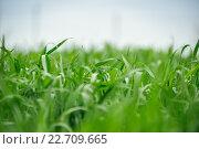 Листья молодой зеленой пшеницы. Стоковое фото, фотограф Михаил Бессмертный / Фотобанк Лори
