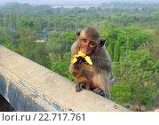 Купить «Мартышка ест банан. Королевство Таиланд», фото № 22717761, снято 29 марта 2012 г. (c) Григорий Писоцкий / Фотобанк Лори