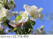 Цветущая яблоня, на фоне голубого неба.. Стоковое фото, фотограф Irina Ugorova / Фотобанк Лори