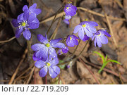 Печёночница, или перелеска (лат. Hepatica) в весеннем лесу. Стоковое фото, фотограф Argument / Фотобанк Лори