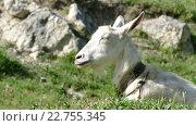 Купить «Белая коза на пастбище», видеоролик № 22755345, снято 3 мая 2016 г. (c) Александр Устич / Фотобанк Лори