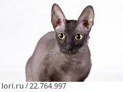 Черная бесшерстная кошка сидит на белом фоне. Портрет анфас. Стоковое фото, фотограф Ольга Козина / Фотобанк Лори