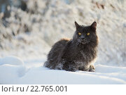 Пушистый серый кот сидит на заснеженной лавочке. Усы кота в инее. Морозно. Стоковое фото, фотограф Ольга Козина / Фотобанк Лори