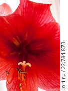 Купить «Цветок амарилиса крупным планом», фото № 22784873, снято 6 марта 2016 г. (c) Наталья Семкина / Фотобанк Лори