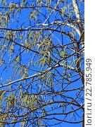 Купить «Осина или Тополь дрожащий (Pоpulus tremula). Цветущие ветви с серёжками на фоне синего неба», фото № 22785949, снято 22 сентября 2012 г. (c) Евгений Мухортов / Фотобанк Лори