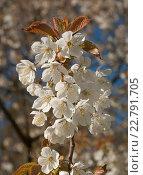 Купить «Белые цветы, яблоневый цвет», эксклюзивное фото № 22791705, снято 6 мая 2016 г. (c) Svet / Фотобанк Лори