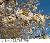 Купить «Цветущая яблоня на фоне голубого неба», эксклюзивное фото № 22791709, снято 6 мая 2016 г. (c) Svet / Фотобанк Лори