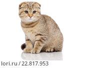 Купить «Scottish fold cat», фото № 22817953, снято 21 октября 2015 г. (c) Andrejs Pidjass / Фотобанк Лори