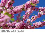 Луизеания трёхлопастная (Louiseania triloba) в саду Новоспасского монастыря в Москве. Стоковое фото, фотограф Natalia Sidorova / Фотобанк Лори