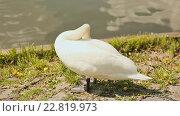 Купить «Белый лебедь на берегу водоема», видеоролик № 22819973, снято 9 мая 2016 г. (c) Mikhail Davidovich / Фотобанк Лори