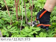 Купить «Обрезка старых сухих стеблей малины. Весна, работа на даче», эксклюзивное фото № 22821973, снято 2 мая 2016 г. (c) Щеголева Ольга / Фотобанк Лори