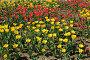 Тюльпаны на клумбе, эксклюзивное фото № 22827093, снято 9 мая 2016 г. (c) Юрий Морозов / Фотобанк Лори
