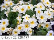 Цветки примулы садовой. Стоковое фото, фотограф Дарья Арифуллина / Фотобанк Лори