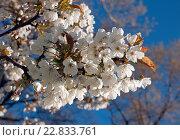 Купить «Цветущая ветка яблони в мае», эксклюзивное фото № 22833761, снято 6 мая 2016 г. (c) Svet / Фотобанк Лори
