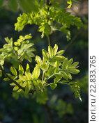 Купить «Молодые зелёные листья рябины в лесу.Фокус на переднем плане», эксклюзивное фото № 22833765, снято 6 мая 2016 г. (c) Svet / Фотобанк Лори