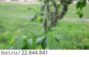 Купить «Молодые листья и серёжки ивы весной», видеоролик № 22844841, снято 11 мая 2016 г. (c) Володина Ольга / Фотобанк Лори
