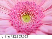 Купить «close up of beautiful pink gerbera flower», фото № 22855653, снято 27 марта 2016 г. (c) Syda Productions / Фотобанк Лори