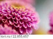 Купить «close up of beautiful pink chrysanthemum flowers», фото № 22855657, снято 27 марта 2016 г. (c) Syda Productions / Фотобанк Лори