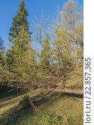 Ветка лиственницы на фоне синего неба. Стоковое фото, фотограф Олег Вдовин / Фотобанк Лори