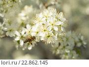 Пчелка собирает нектар. Стоковое фото, фотограф Айрат Галлямов / Фотобанк Лори