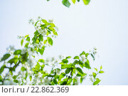 Купить «flowering trees against», фото № 22862369, снято 10 мая 2016 г. (c) Типляшина Евгения / Фотобанк Лори
