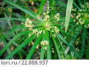 Cyperus involucratus, Zypergras, Umbrella papyrus. Стоковое фото, фотограф Zoonar/P.Himmelhuber / age Fotostock / Фотобанк Лори