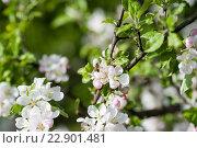 Муха на цветах яблони. Стоковое фото, фотограф Dmytro Kohut / Фотобанк Лори
