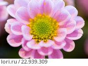 Купить «close up of beautiful pink chrysanthemum flowers», фото № 22939309, снято 27 марта 2016 г. (c) Syda Productions / Фотобанк Лори