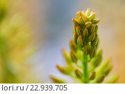 Купить «close up of eremurus foxtail lily or flower», фото № 22939705, снято 27 марта 2016 г. (c) Syda Productions / Фотобанк Лори